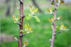 Élevage de peu de feuilles de pommier Image stock