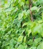 Élevage de phaseolus vulgaris de haricots Image stock