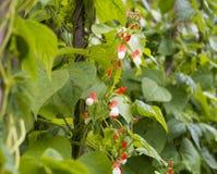 Élevage de phaseolus vulgaris de haricots Photographie stock
