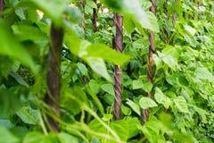 Élevage de phaseolus vulgaris de haricots Photographie stock libre de droits