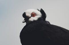 Élevage de pigeon Image stock