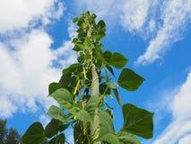 Élevage de plante de haricot Photos stock