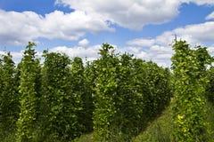 Élevage de plantes de haricot Image libre de droits