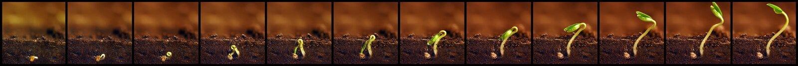 Élevage de plantes Les usines élèvent des étapes Périodes de croissance de jeunes plantes Photo libre de droits