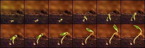 Élevage de plantes Les usines élèvent des étapes Périodes de croissance de jeunes plantes Photo stock