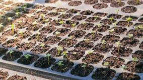Élevage de plantes vertes Photo stock