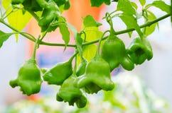 Élevage de poivre de piment Photo libre de droits