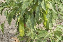 Élevage de poivron vert Photographie stock