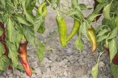 Élevage de poivron vert Image libre de droits