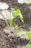 Élevage de poivrons verts Photographie stock
