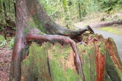 Élevage- de racines d'arbre d'un tronçon Photos libres de droits