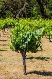 Élevage de raisin de vignoble Image stock