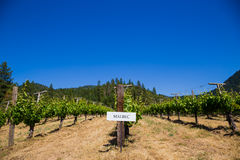 Élevage de raisin de vignoble Image libre de droits