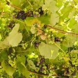 élevage de raisins Photos stock