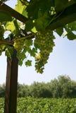 Élevage de raisins de cuve Images libres de droits