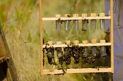 Élevage de reine dans les terres cultivables Photos stock