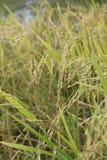 Élevage de riz Photographie stock