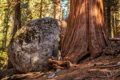 Élevage de roche d'arbre de séquoia Images libres de droits