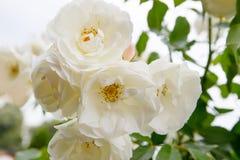 Élevage de roses blanches Image libre de droits