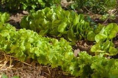 Élevage de salade Photos libres de droits