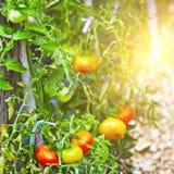 Élevage de tomates Photo libre de droits