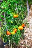 Élevage de tomates Photographie stock libre de droits