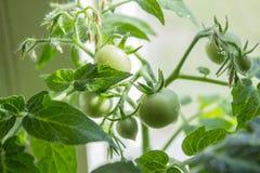 Élevage de tomates Photographie stock