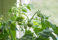 Élevage de tomates Images stock