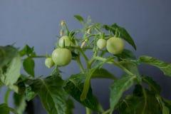 Élevage de tomates Images libres de droits