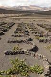 Élevage de vin sur Lanzarote Photos stock