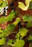 Élevage de vin sur le mur de briques Photographie stock libre de droits