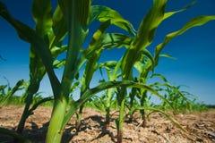 Élevage de zone de maïs Photos libres de droits