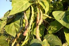 Élevage des haricots Photo libre de droits