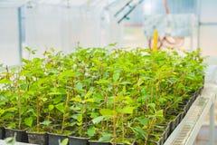 Élevage des jeunes plantes d'un prunier en serre chaude Photo libre de droits