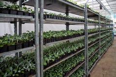 Élevage des jeunes plantes de cinéraire dans les nshelves en plastique de pots en serre chaude pour le jardinage ornemental Photos libres de droits