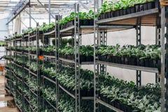 Élevage des jeunes plantes de cinéraire dans les nshelves en plastique de pots en serre chaude pour le jardinage ornemental Foyer Photographie stock