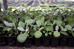 Élevage des jeunes plantes de cinéraire dans les nshelves en plastique de pots en serre chaude pour le jardinage ornemental Foyer Image libre de droits