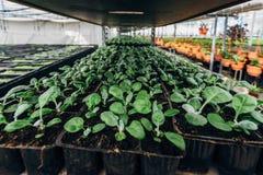 Élevage des jeunes plantes de cinéraire dans des pots en plastique en serre chaude pour l'ornamental faisant du jardinage et plan Images stock