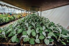 Élevage des jeunes plantes de cinéraire dans des pots en plastique en serre chaude pour l'ornamental faisant du jardinage et plan Photographie stock libre de droits