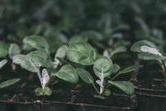 Élevage des jeunes plantes de plante verte de cinéraire dans des pots en plastique en serre chaude pour le jardinage ornemental,  Images libres de droits