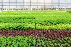 Élevage des jeunes plantes des plantes ornementales dans la pépinière en serre chaude moderne Photos libres de droits