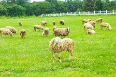 Élevage des moutons Image stock