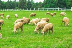 Élevage des moutons Photographie stock