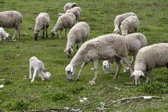 Élevage des moutons Photo stock