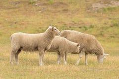 Élevage des moutons au-dessus de verre vert sec Photos stock