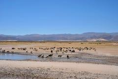 Élevage des moutons dans l'immensité de l'Altiplano Photo libre de droits