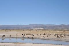 Élevage des moutons dans l'immensité de l'Altiplano Image libre de droits