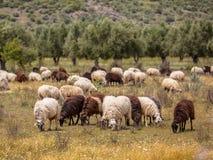 Élevage des moutons en Grèce photo stock