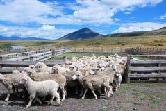 Élevage des moutons en piment Patagonian d'estancia avec le paysage, moutons de nuages marchant hors de la barrière Photo stock