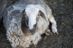 Élevage des moutons extérieur Photo stock